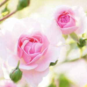 フローラルの女王「ローズ」の香水で春を女らしく